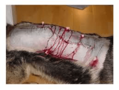 A German Shepherd needed surgery to remove and clear large internal abscesses caused by foxtail. The dog made a full recovery after surgery.