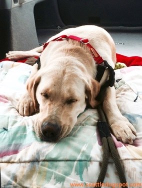 Haley was exhausted after the Freedom Tails graduation ceremony and slept all the way from Aberdeen to Seattle. Photo from Seattle DogSpot.