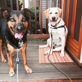 Haley and Miguel aren't best friends yet but they are getting along well. Photo from Seattle DogSpot.