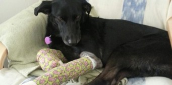 Seattle police give medical treatment to hero dog that chased away burglar