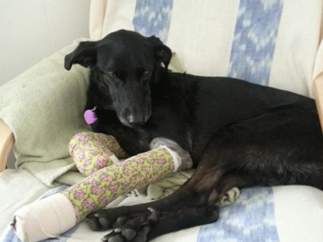 Egypt severely lacerated her paws breaking through a window in her home to chase away a burglar. She should make a full recovery from her injuries in a few weeks. Photo from Don