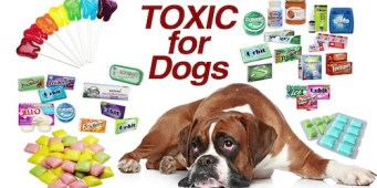 Xylitol Poisoning Poses a Real Threat to Dogs