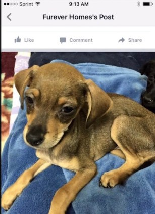 This skinny, sickly looking puppy is one of the fosters Kimberly took back to Furever Homes on Jan. 2. On Feb. 1 Furever Homes posted this picture on its FB page announcing she was available for adoption. Photo from Furever Homes Rescue.
