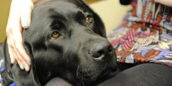 Thurston County's New Courthouse Dog Comforts Crime Victims