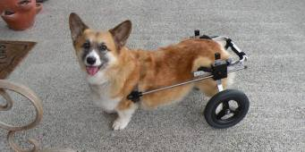 Whidbey Island Company Has Made Dog Wheelchairs for over 50 years