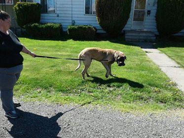 Rising Phoenix Mastiff Rescue