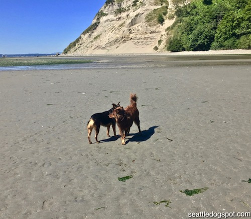 Miguel meeting a new friend at the dog beach on Whidbey Island