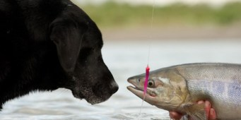 Dogs are More Susceptible to Salmon Poisoning During Spawning Season