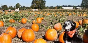 List of Dog Friendly Corn Mazes and Pumpkin Patches Near Seattle