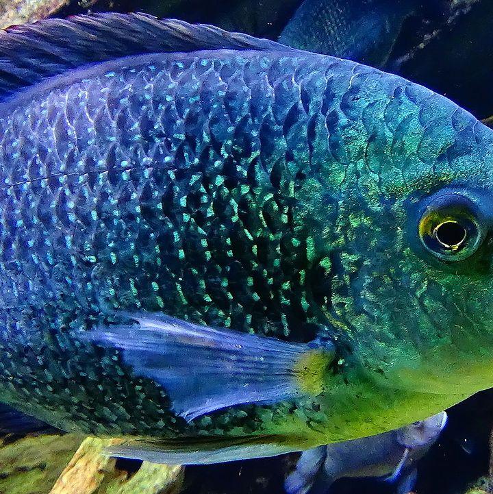 Tilapia: Freak Farmed Fish or Evolutionary Rock Star?