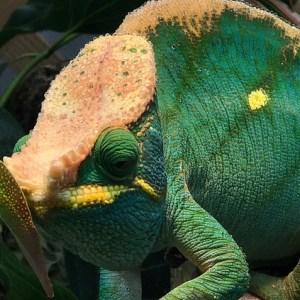 Chameleon Husbandry And Preventative Healthcare Stahl Exotic Animal Veterinary Services
