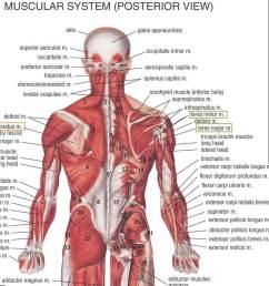 back anatomy muscle masterclass lats [ 1295 x 906 Pixel ]