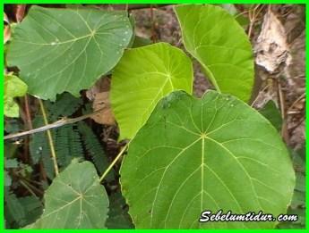 manfaat dan khasiat daun waru, kegunaan daun waru, daun waru untuk rambut