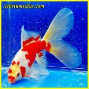 fungsi hati pada ikan, hati pada ikan, organ tubuh ikan