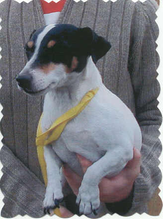 BREED: Jack Russell Terrier (smooth coat) GENDER: Female (spayed)