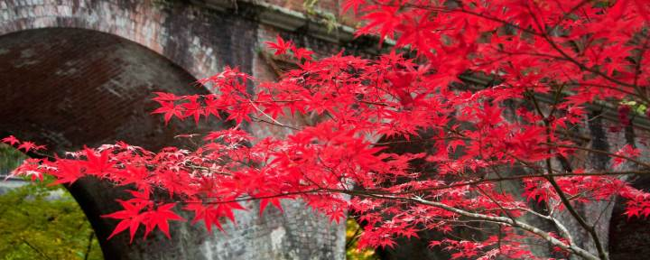 Momiji Japanese maple Kyoto Japan 3 weeks