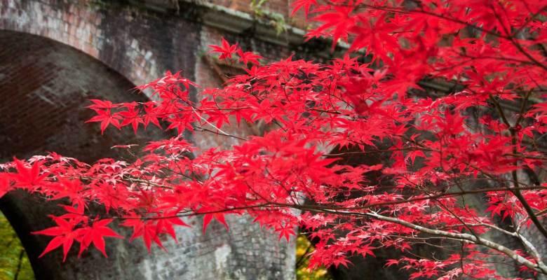 Momiji Japanese maple Kyoto Japan 3 weeks