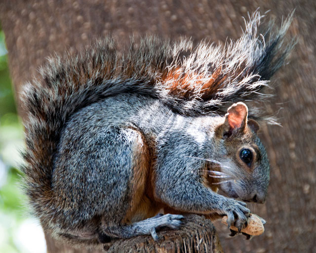 The squirrels of Chapultepec Park are renowned for their cheekiness. One ran over my toes in his search for peanuts.