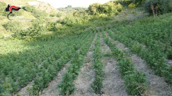 cannabis piantagione