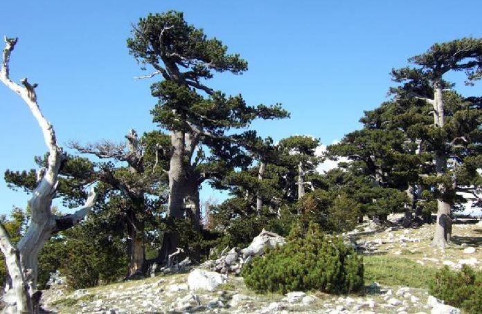 L'albero più vecchio d'Europa si trova sul Pollino