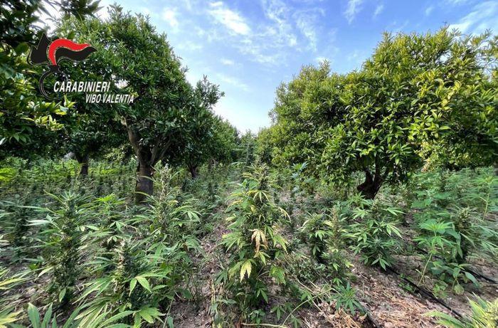 Sequestrata piantagione di cannabis nel vibonese, un arresto