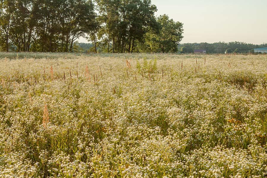 Цветущие поля ромашок под Киевом