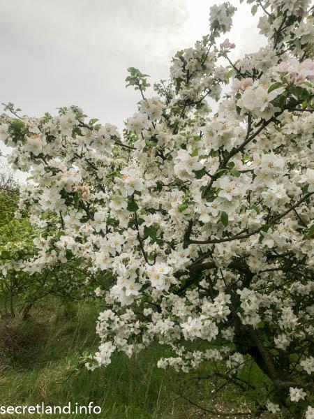 Яблоня Святопетровское