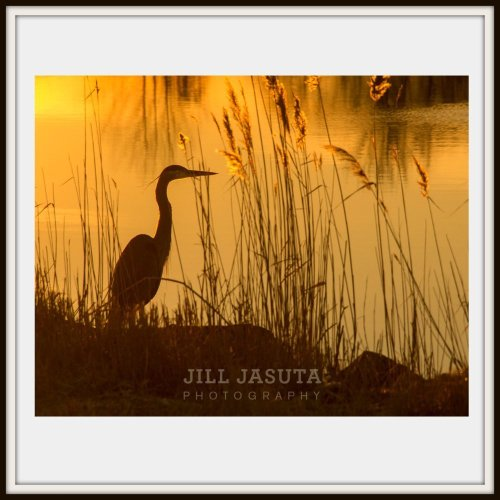 Heron in the Golden Light on the Eastern Shore of Maryland