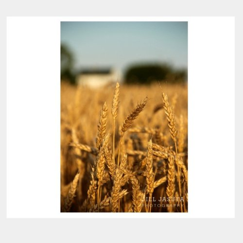 Eastern Shore Wheat Field Greeting Card by Secrets of the Eastern Shore