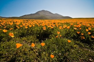 california poppy small