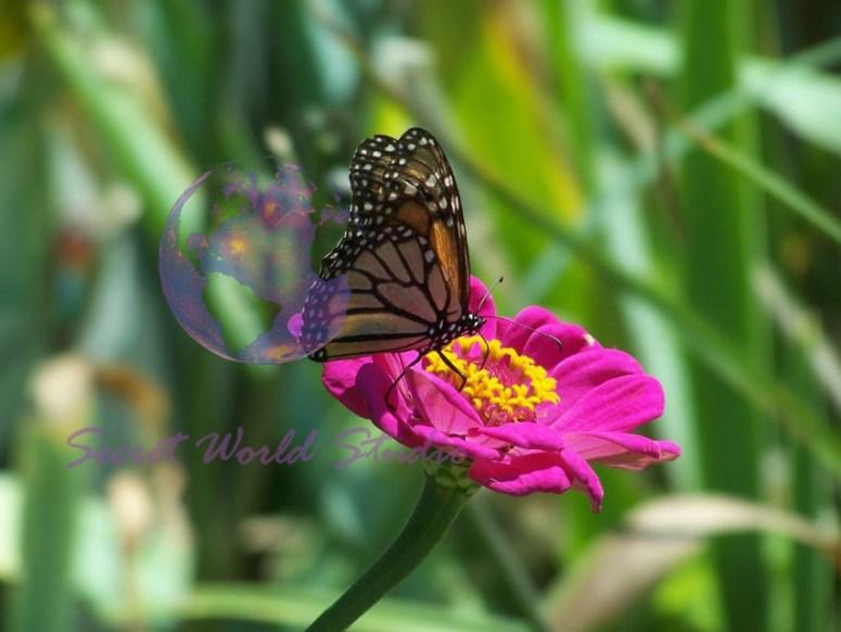 Butterfly Pink Zinnia