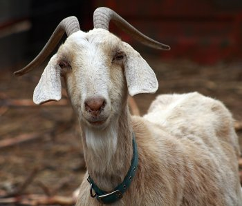 Muslim man who ritually slaughtered goats didn't know it was against the law