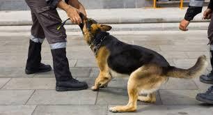 Agent cynophile: quelle race de chiens choisir?
