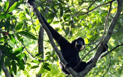 Saving the Yellow-Cheeked Gibbons