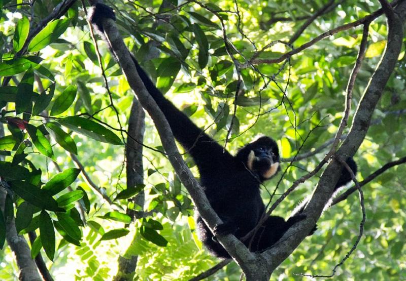 Saving the Yellow-Cheeked Gibbons