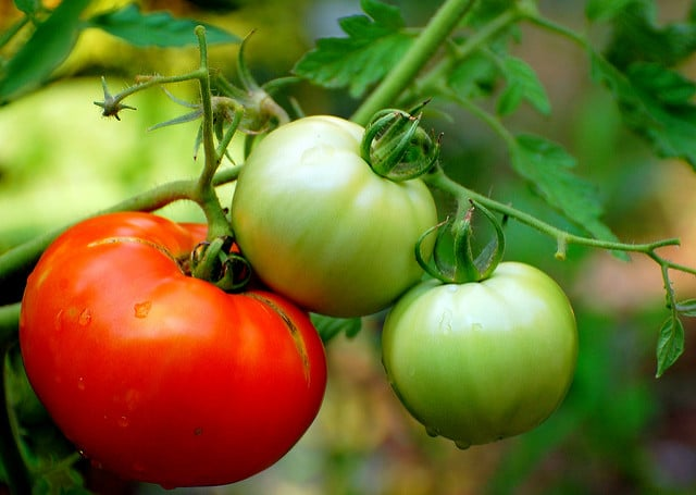 how to grow tomatoes, growing tomatoes