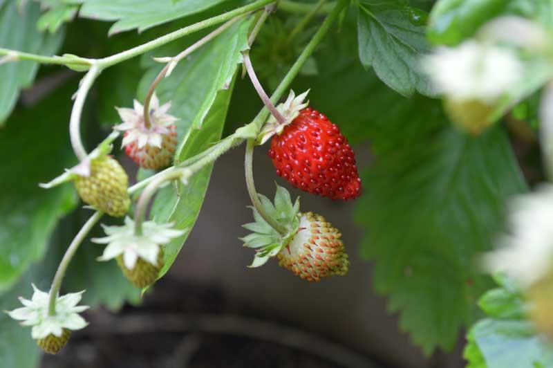 Grow Stawberries Seas