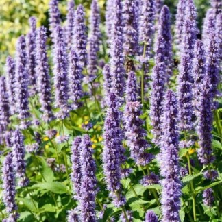 korean mint seeds, Agastache rugosa, blue licorice, indian mint