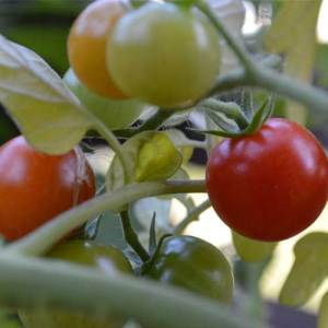 Organic black cherry tomato seeds natural seed bank for How to grow cherry tomatoes from seeds