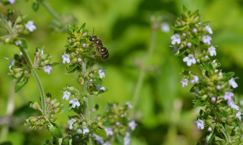 how to grow creeping thyme, creeping thyme