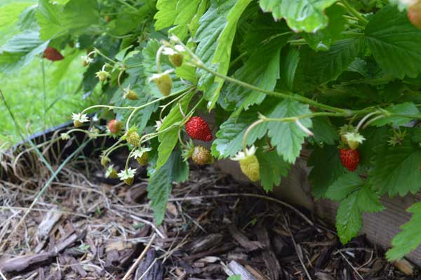 alpine-strawberries