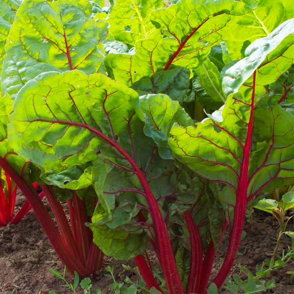 swiss chard, winter vegetables, winter garden