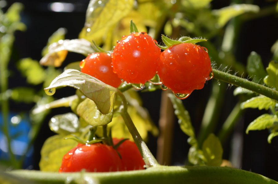 growing tomatoes, how to grow tomatoes