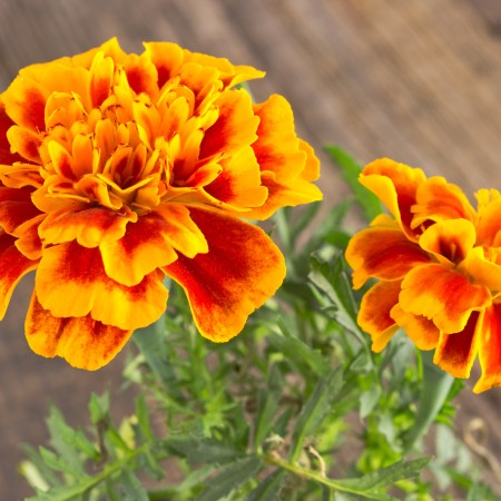 french-marigold, companion planting, companion planting techniques