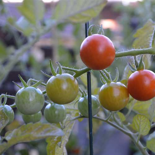 cherry tomatoes, tomato plant