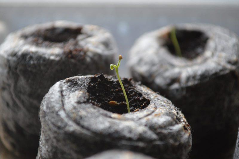 Growing Goji Berries Indoors Seed Nursery