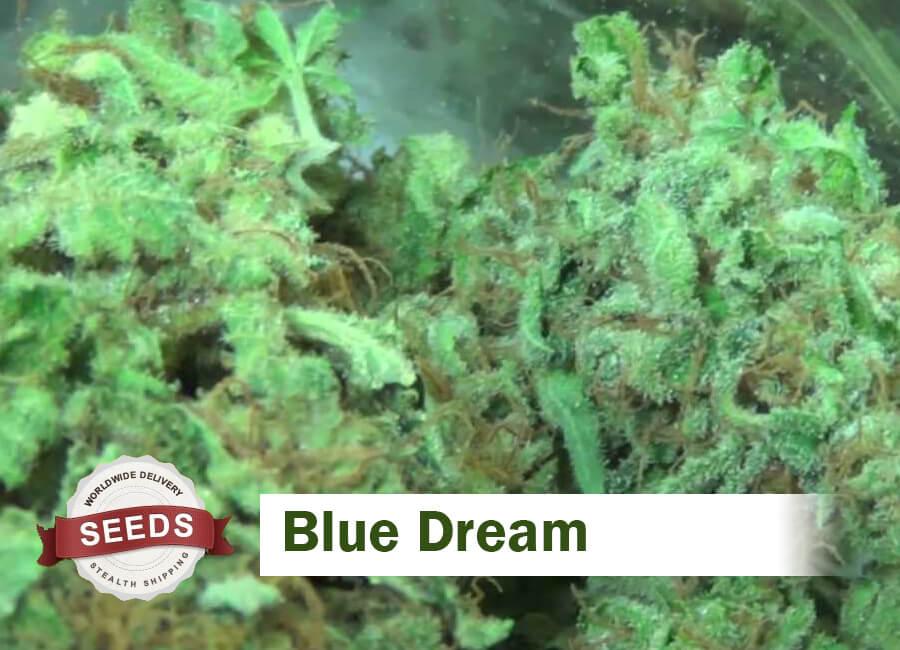 Blue Dream Seeds - Marijuana Seed Strains | Seed Flavors