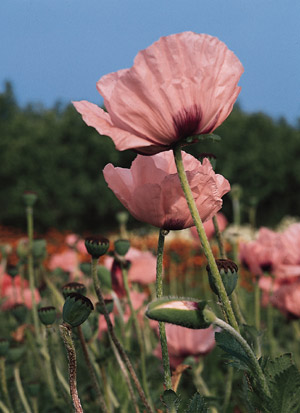 Our Favorite Poppy Flower Seed Page