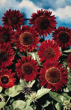 Jims Favorite Sunflower Seeds