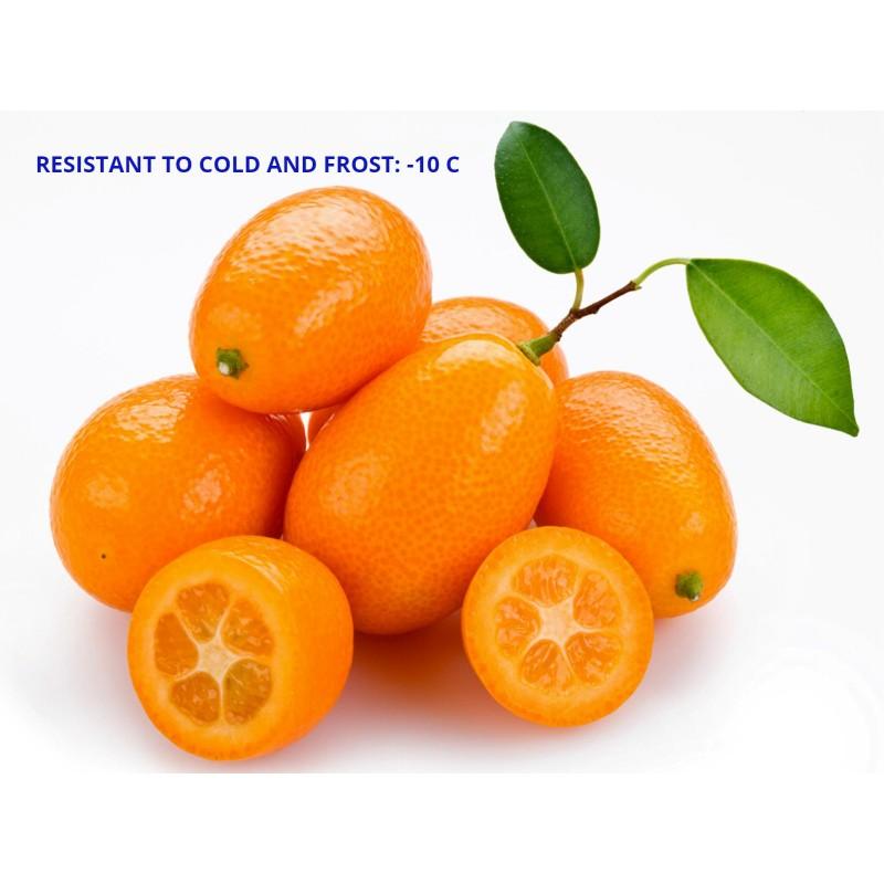 You can eat the citrus fruit whole â€' Kumquats Or Cumquats Seeds Fortunella Margarita السعر 2 95